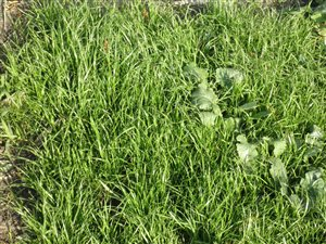 Annual Ryegrass - Annual Ryegrass