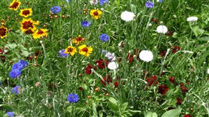 - Annual Wildflower Mixture