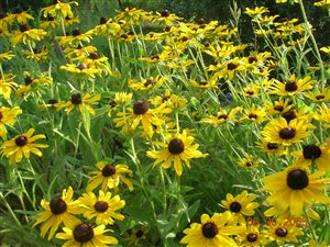 Blackeyed Susan - Blackeyed Susan