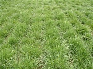 Chewings Fescue - Chewings Fescue