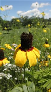 Clasping Coneflower - Clasping Coneflower