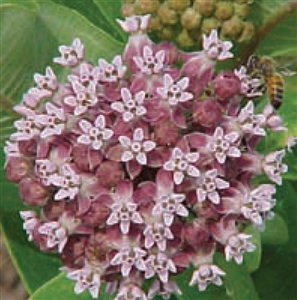 Common Milkweed - Common Milkweed