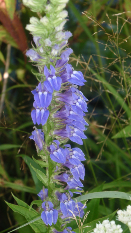 Great Blue Lobelia Native Wildflowers Stock Seed Farms