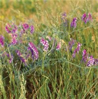 protein content of hairy vetch jpg 1152x768