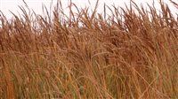 Indiangrass - Indiangrass