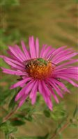 New England Aster - New England Aster