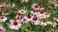 Purple Coneflower - Purple Coneflower