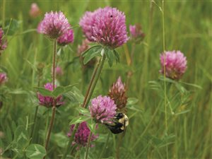 Red Clover - Mammoth Red Clover