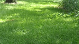 Shady Grass Mixture - Shady Grass Mixture