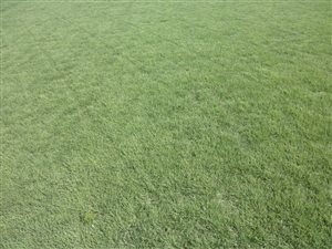 Turf Type Buffalograss