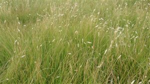 Common Buffalograss