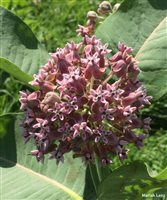 - Common Milkweed
