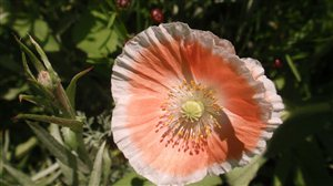 Corn Poppy (Shirley Mix) - Corn Poppy