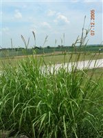 Eastern Gamagrass
