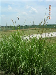 Eastern Gamagrass - Eastern Gamagrass