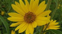 Maximilian Sunflower - Maximilian Sunflower