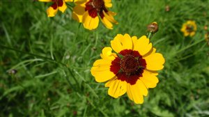 Plains Coreopsis - Plains Coreopsis