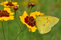 - Plains Coreopsis