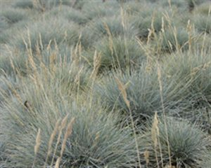 Sheep Fescue - Sheep Fescue
