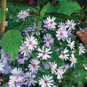 Smooth Aster - Smooth Blue Aster